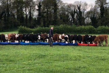 Step Farm Cattle