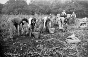 Wla Harvesting Potatoes 1939